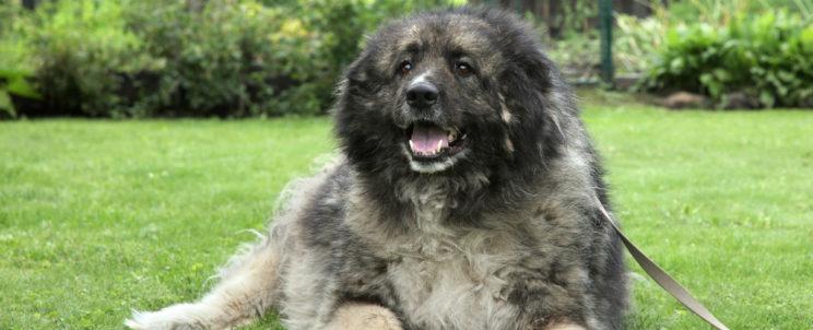 Leendő kutyakozmetikusoknak: A Kaukázusi juhászkutyáról bővebben