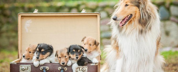 Mindenki Lassie-je – Tudnivalók a hosszú szőrű skót juhászkutyákról